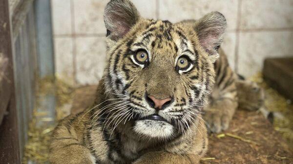 Сотрудники центра реабилитации диких животных выходили полуживого бенгальского тигрёнка, изъятого из незаконной продажи