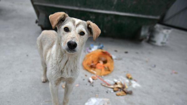 Бездомная собака возле мусорного контейнера в Симферополе