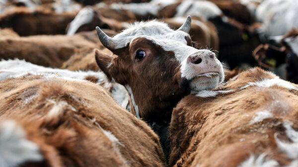 В Эстонии создали спрей от COVID-19 из молока беременных коров