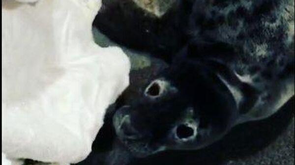 Истощенного тюленя спасли в Финском заливе