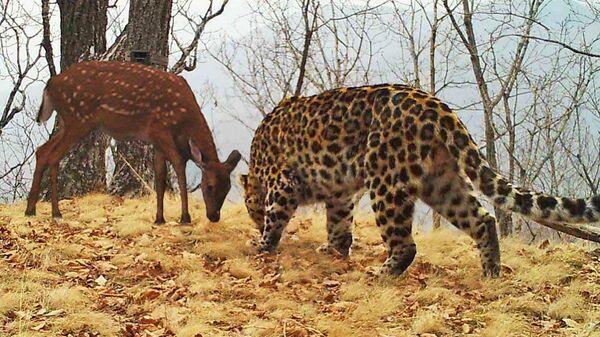 Пятнистый олень и дальневосточный леопард стоят напротив друг друга