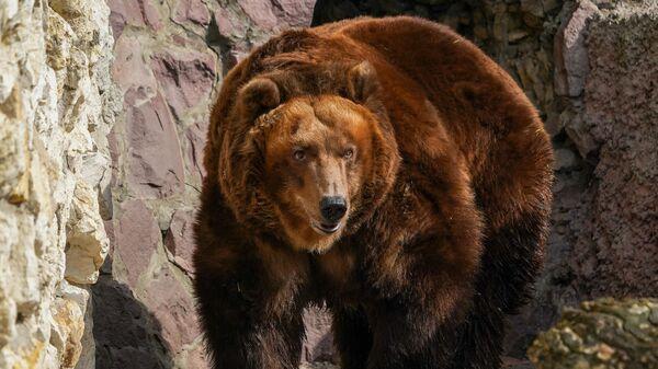 Бурый медведь в вольере Московского зоопарка