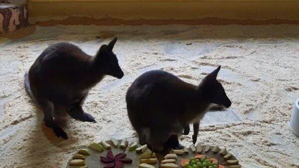 Кенгуру Беннетта в белгородском зоопарке