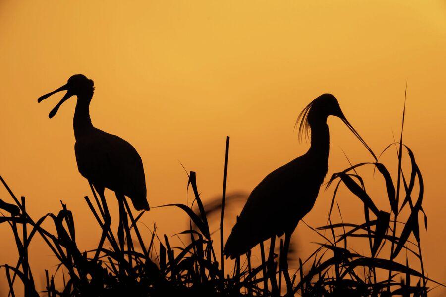Колпицы в свете восходящего солнца в Аграханском заливе