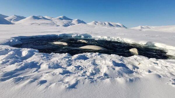 Белухи, попавшие в ледовый плен в бухте Пенкигнгэй на Чукотке в конце апреля