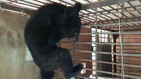 Спасенный гималайский медвежонок в центре Тигр, Приморский край