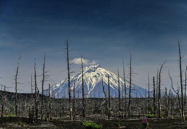 Мертвый лес вулкана Толбачик