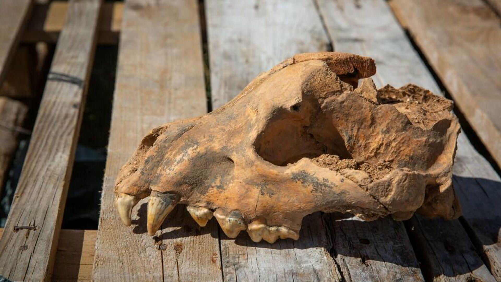 """В пещере """"Таврида"""" в Крыму нашли череп гигантской ископаемой гиены"""