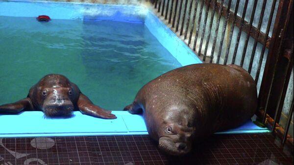Детеныши моржа, которых спасли из китовой тюрьмы в Приморье