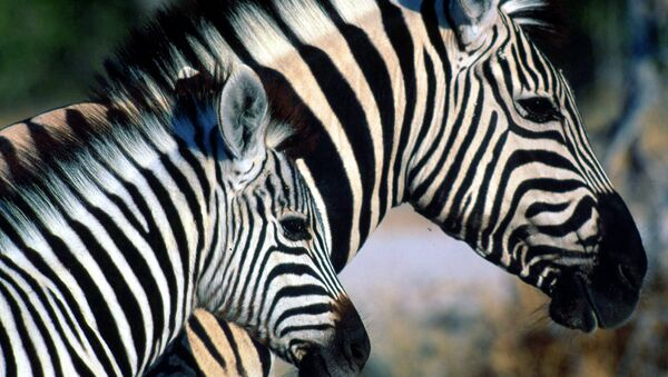 Зебры в северной Намибии