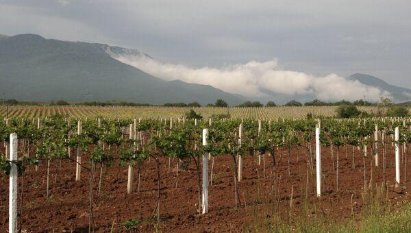 Виноградники в окрестностях Алушты. Архивное фото
