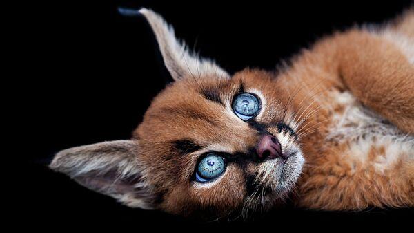 Котенок породы каракал