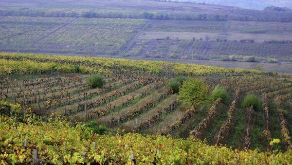 Виноградники в Молдавии. Архивное фото