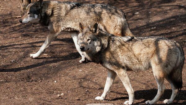 Серый волк, архивное фото