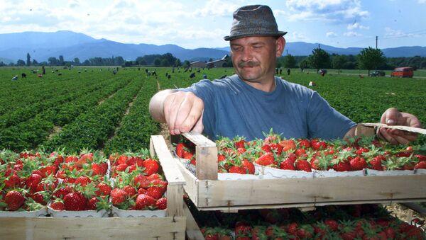 Фермер на плантации клубники. Архивное фото