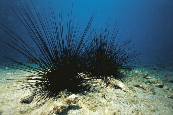 Длинношипый диадемовый морской еж