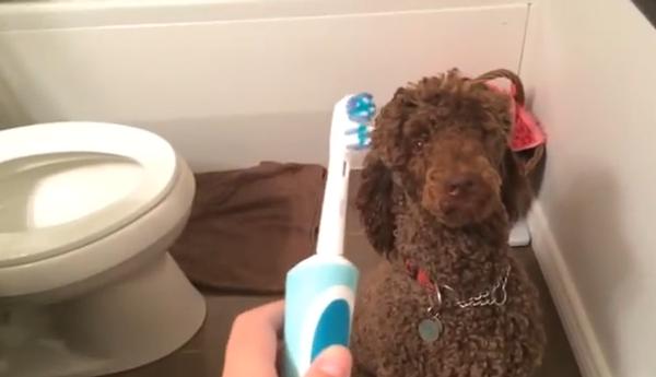 Реакция пуделя на зубную щетку