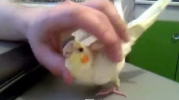 Пожалуй, самый ласковый попугай в мире