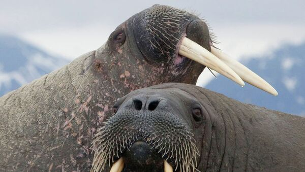 Пара моржей. Архивное фото