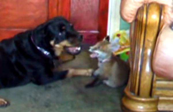Лис собаке друг?