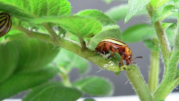 Колорадские жуки еще не знают, что их уже убило встроенное в листья картошки «биооружие» (devil)