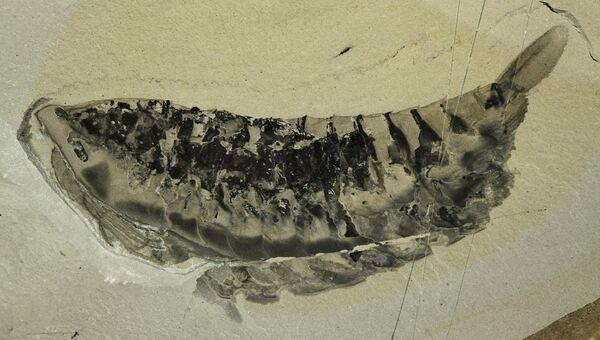 Отпечаток тела гигантской усатой креветки, найденной в западной Канаде