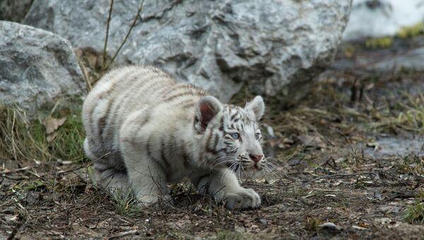 Детеныш бенгальского тигра. Архивное фото