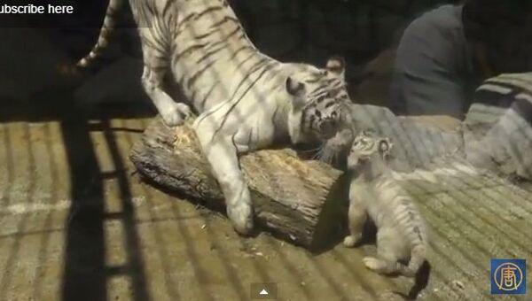 Пусть мама услышит, или Как тигренок попал в беду