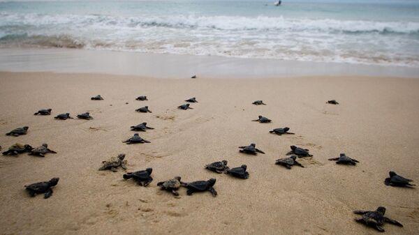 Новорожденные морские черепахи на пляже Lampuuk, Индонезия