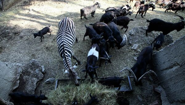 Животные, сбежавшие из затопленного зоопарка в Тбилиси. Июнь 2015