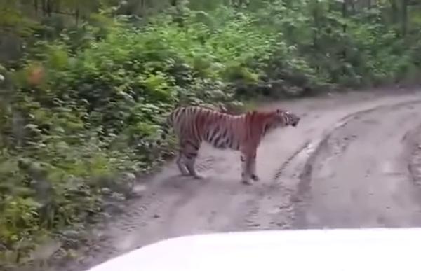 А вы говорили медведи на улицах! Тут дорогу может перебегать… тигр!