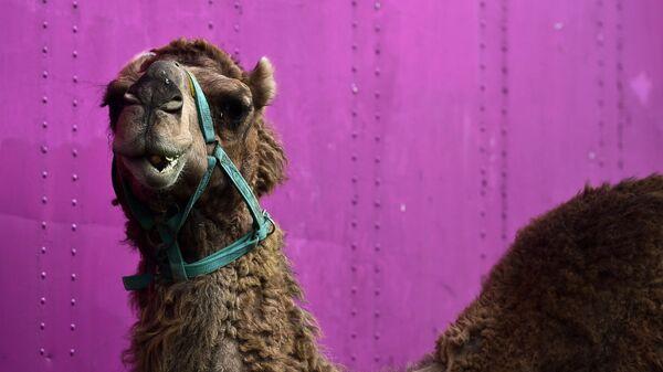 Верблюд в цирке. Архивное фото