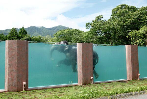 Азиатский слон в Фудзи Сафари Парке, Япония