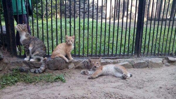 Домашняя кошка в зоопарке Новосибирска выкормила детеныша рыси