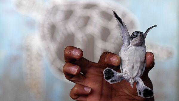 Волонтер держит детеныша морской черепахи в черепаховом центре Косгоды, Шри-Ланка