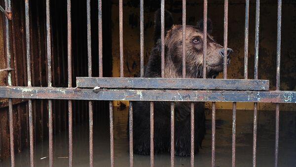 Медведь в зоопарке Зелёный остров города Уссурийска, пострадавшем в результате подтопления