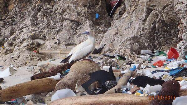 Олуша на природной свалке пластиковых отходов в Индийском океане