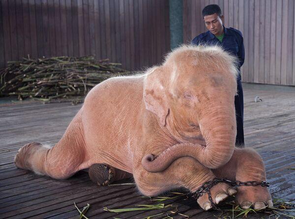 Белый слон из слоновьего приюта в Нейпьидо, Мьянма