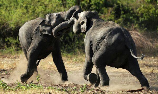 Слоны в Национальном заповеднике Миннерия, Шри-Ланка