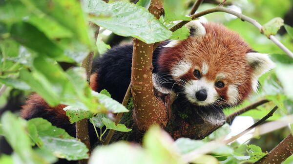 Красная панда в зоопарке французского города Пессак