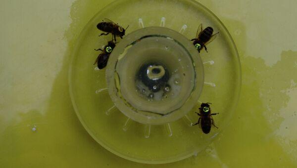 Пчелы пьют нектар, в который ученые добавили кофеин