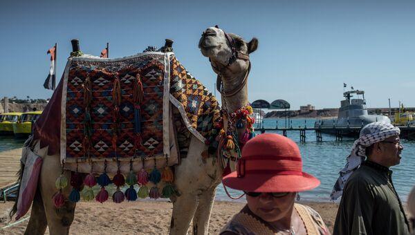 Верблюд на территории одного из отелей Шарм-эш-Шейх. Архивное фото