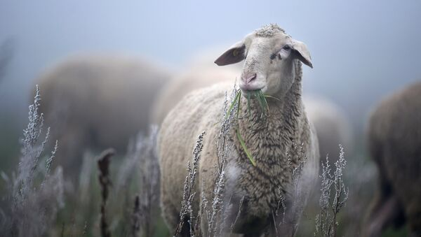 Овца на лугу. Архивное фото