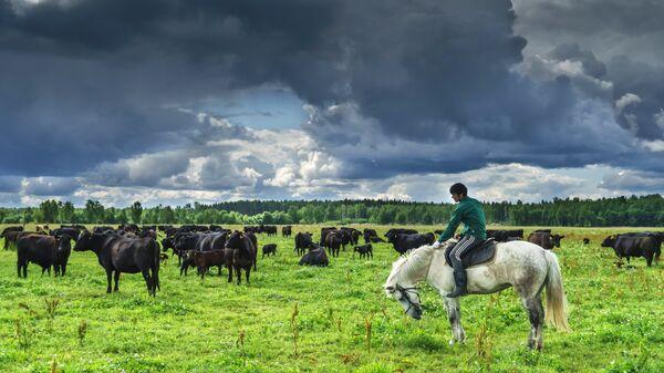 Пастух со стадом на пастбище в племенном хозяйстве по выращиванию и продаже мясного крупного рогатого скота ОАО Племенной Завод Спутник в Ленинградской области. 2015 год