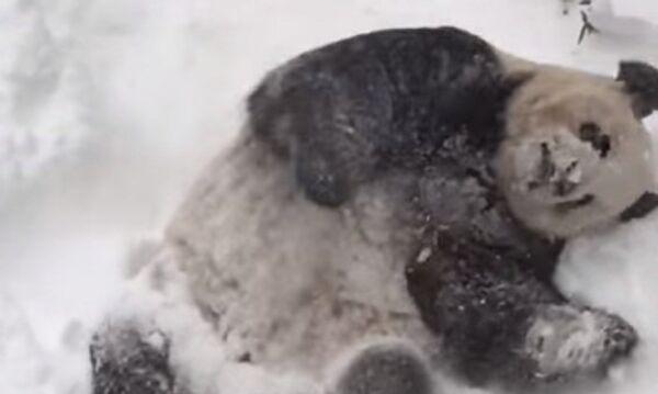 Панда Тянь-Тянь искупалась в сугробе