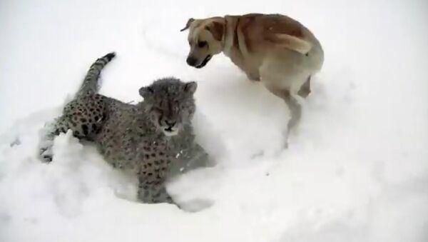 Дружба пса и ягуара