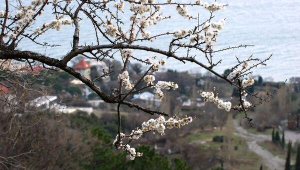 Цветущее дерево в окрестностях Алупки
