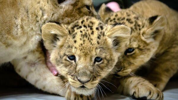 Трое львят, родившихся у льва Адама и львицы Таси 15 марта. В Ленинградском зоопарке пополнение впервые за 20 лет