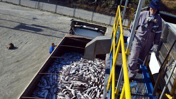 Погрузка лосося в Кальбуко, Чили. Архивное фото