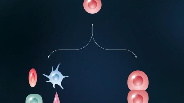 Особенности плюрипотентных стволовых клеток